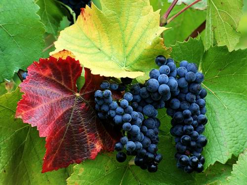 Генетики построили фамильное древо винограда