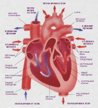 20 фактов о человеческом сердце