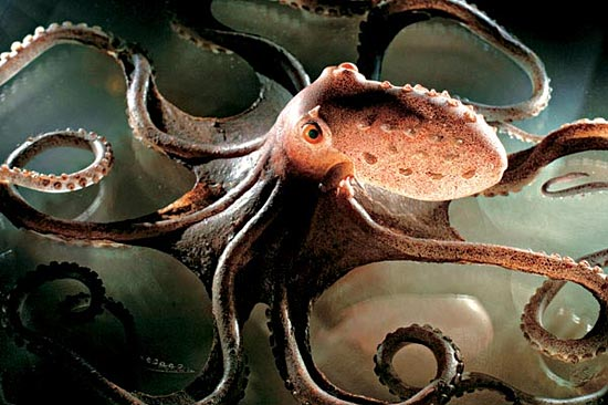 10 удивительных фактов об осьминогах