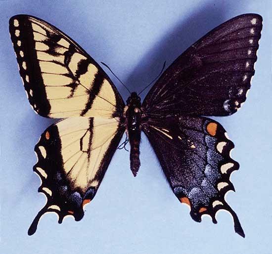 Гинандроморфизм — это аномалия, при которой одна половина тела — мужская, а вторая — женская
