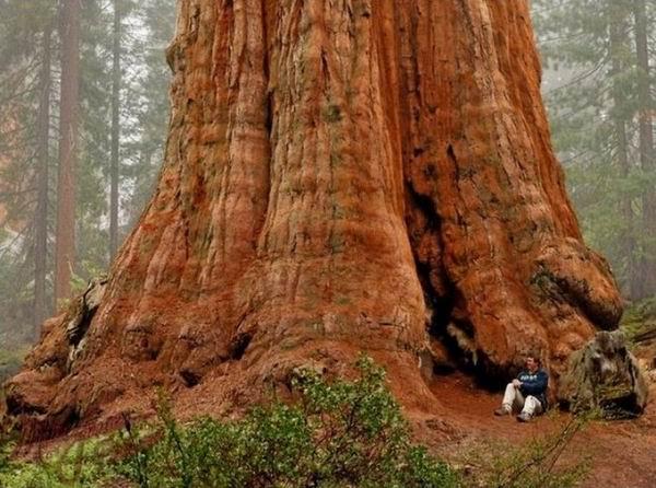 Дерево Генерала Шермана — самое большое в мире