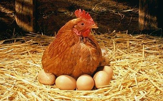Куриные яйца в гнезде, фото 5696748