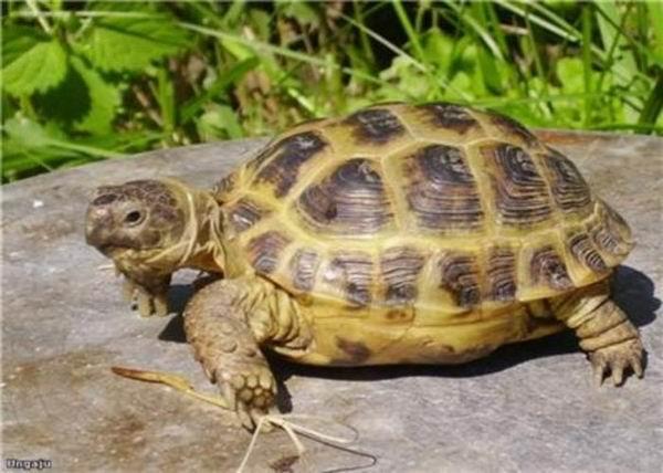 Голова черепахи