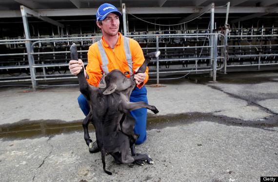 В Новой Зеландии корова родила мутанта