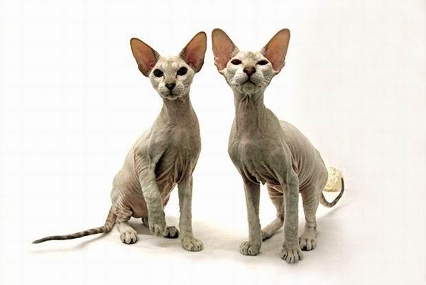 10 самых дорогих кошек