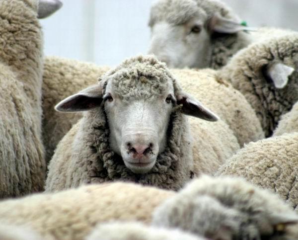 Нидерландский суд отпустил зоофила, потому что изнасилованная овца не дала показания