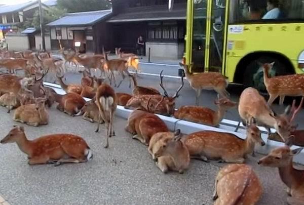 Олени заняли дорогу в Японии