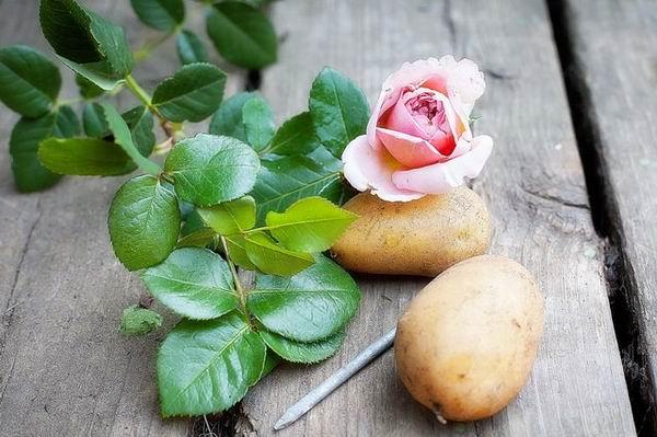Как вырастить розу из картошки