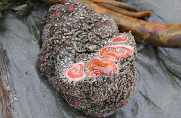 Pyura chilensis — «кровоточащий камень» с морского дна