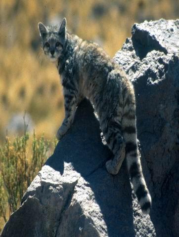 26 потрясающих пород кошек на грани исчезновения